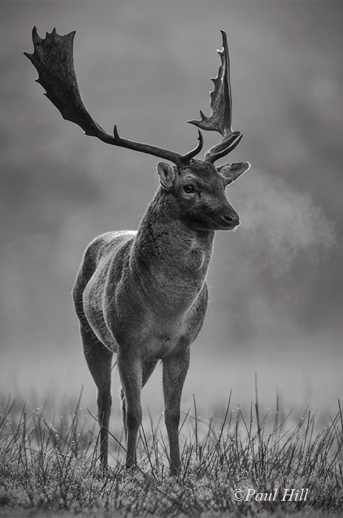 Nature_1_Fallow-Deer-Buck_Paul-Hill