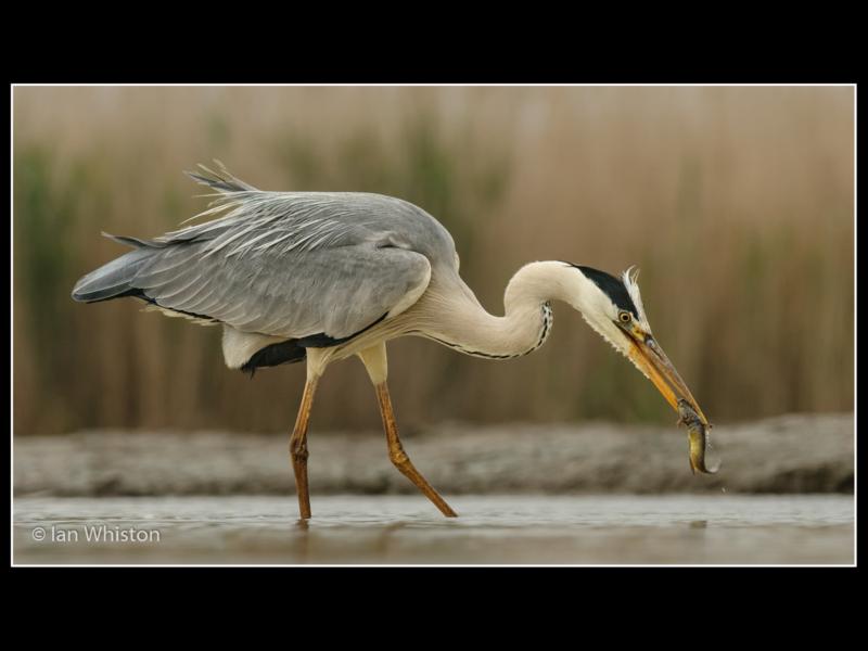 Ian Whiston -Fishing Heron_N_26-2