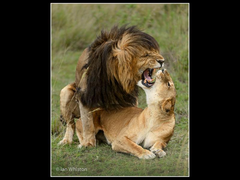 Ian Whiston -Rekero Pride Lions Mating_N_26-2