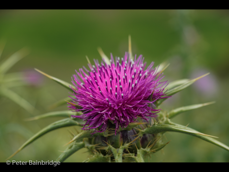 Peter Bainbridge -Milk Thistle Bloom_N_06-2