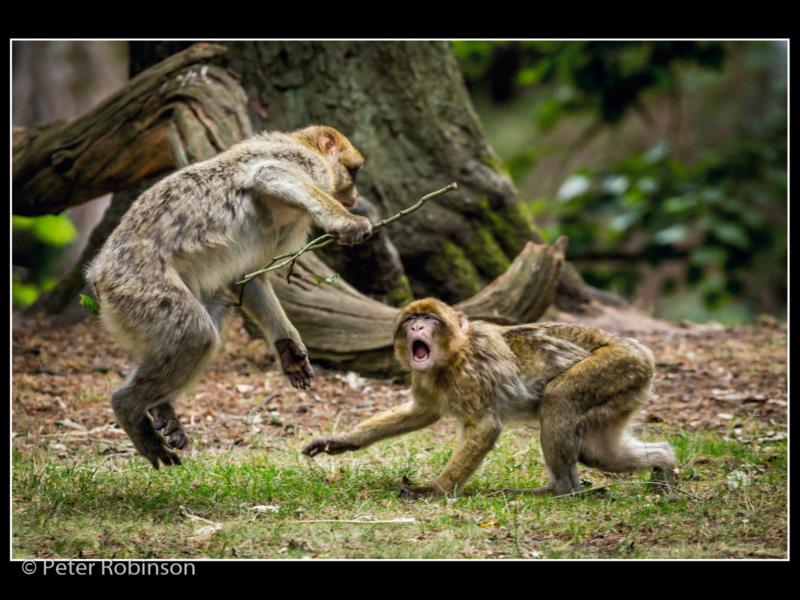 Peter Robinson – 3_Monkeys Play Flight_N_19-2