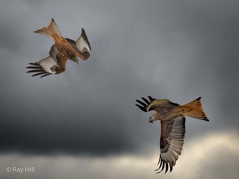 Ray Hill – Red Kite Attack-2