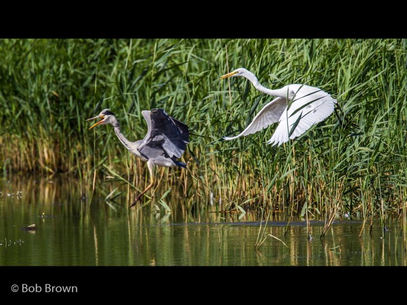 Robert Brown – Great White Egret Chasing Grey Heron-2