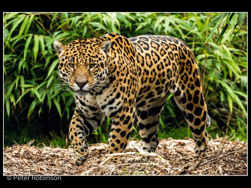 Peter Robinson_Prowling Jaguar_N (19)-2